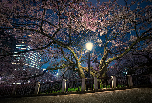 Japan's Cherry Blossoms